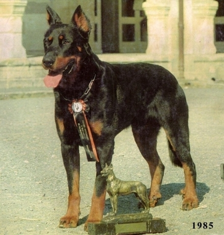 Scotch du Chantain - Beauceron Des Gardiens de Rome