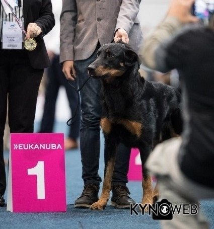 World Dog Show - Lipsia 2017 - Beauceron Des Gardiens de Rome
